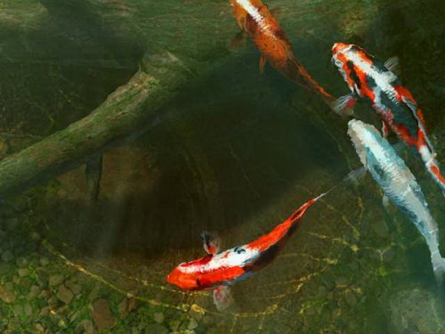 Koi Fish 3D Screensaver 2.0.0.6